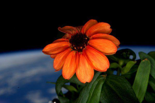 NASA astronaut Scott Kelly posts pictures of the first flower to bloom in outer space