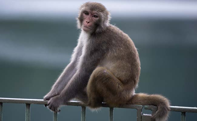 As Menace Grows, Himachal Offers Rs. 300 To Kill Monkeys