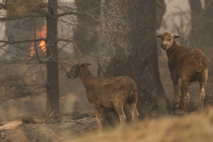 The fires' impacts have been felt by people and wildlife alike