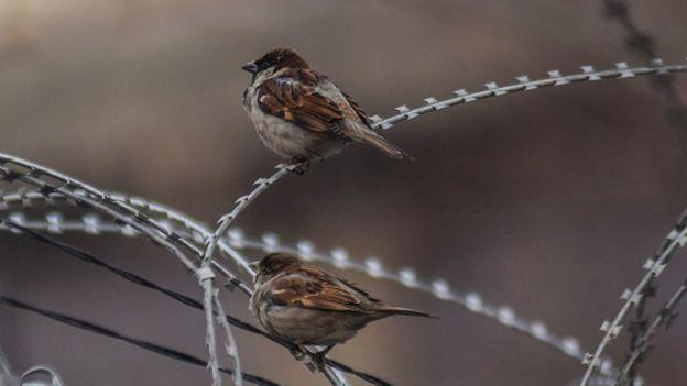 The local sparrow population has declined in the major cities