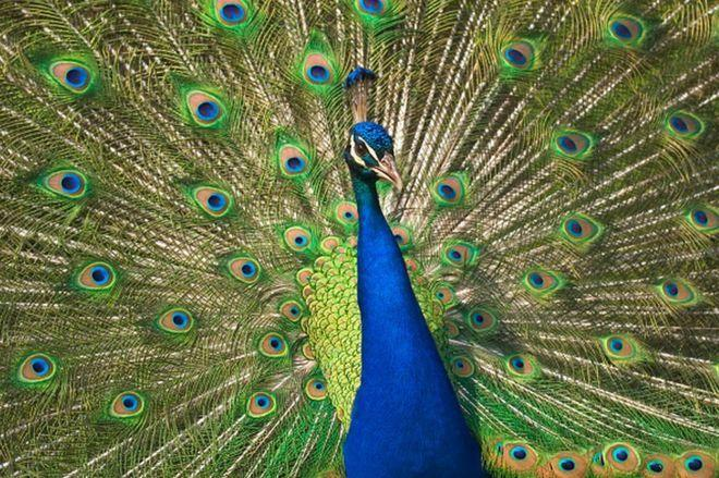 The population of peafowl, the national bird, has increased significantly