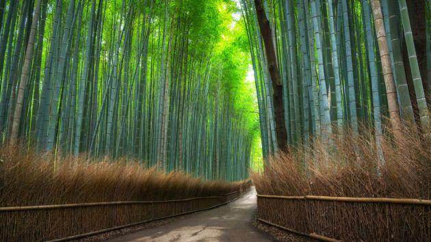 A tranquil path though a bamboo forest