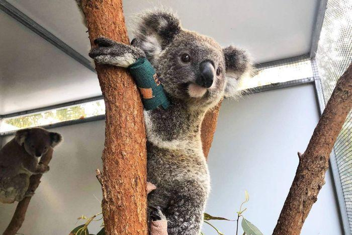 NSW gov may list koalas as endangered