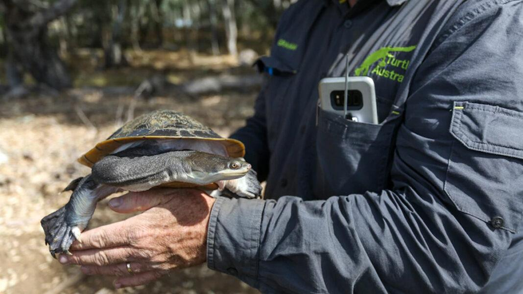 Invasive Turtles Terrorising Sydney's Wildlife Tracked Down by Scent Detector Dogs